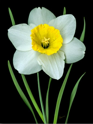 white daffodil painting