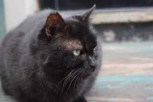 Black tomcat 1