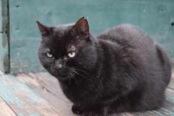 Black tomcat 2