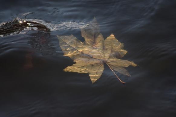 water leaf underwater autumnn yellow fall