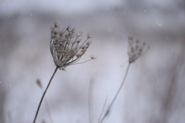 winter thorn flower snow