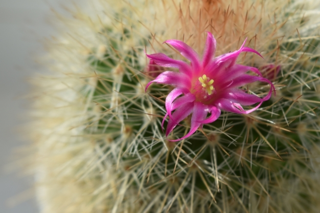 flower cactus pink photography