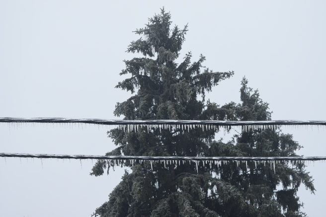 frozen firs - view from the window