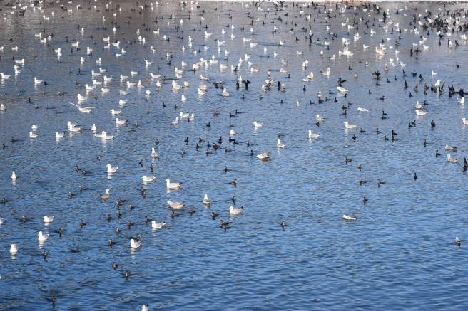 Pasari pe lac, albe si negre - Birds on a lake, white and black