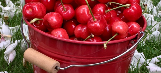 picking cherries in a red bucket