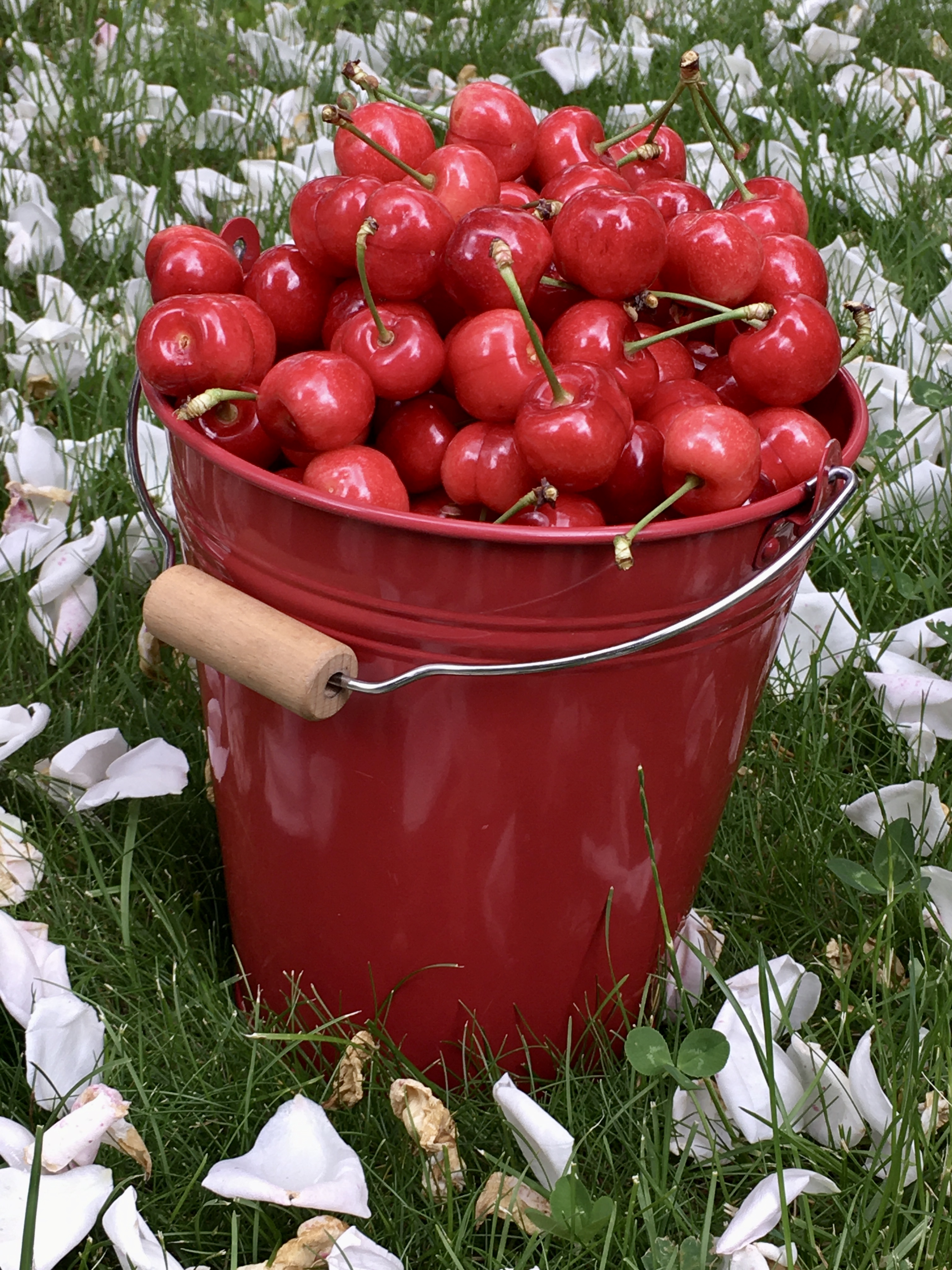 bucket full of cherries lying in the grass with rose petals scattered by the wind all around it