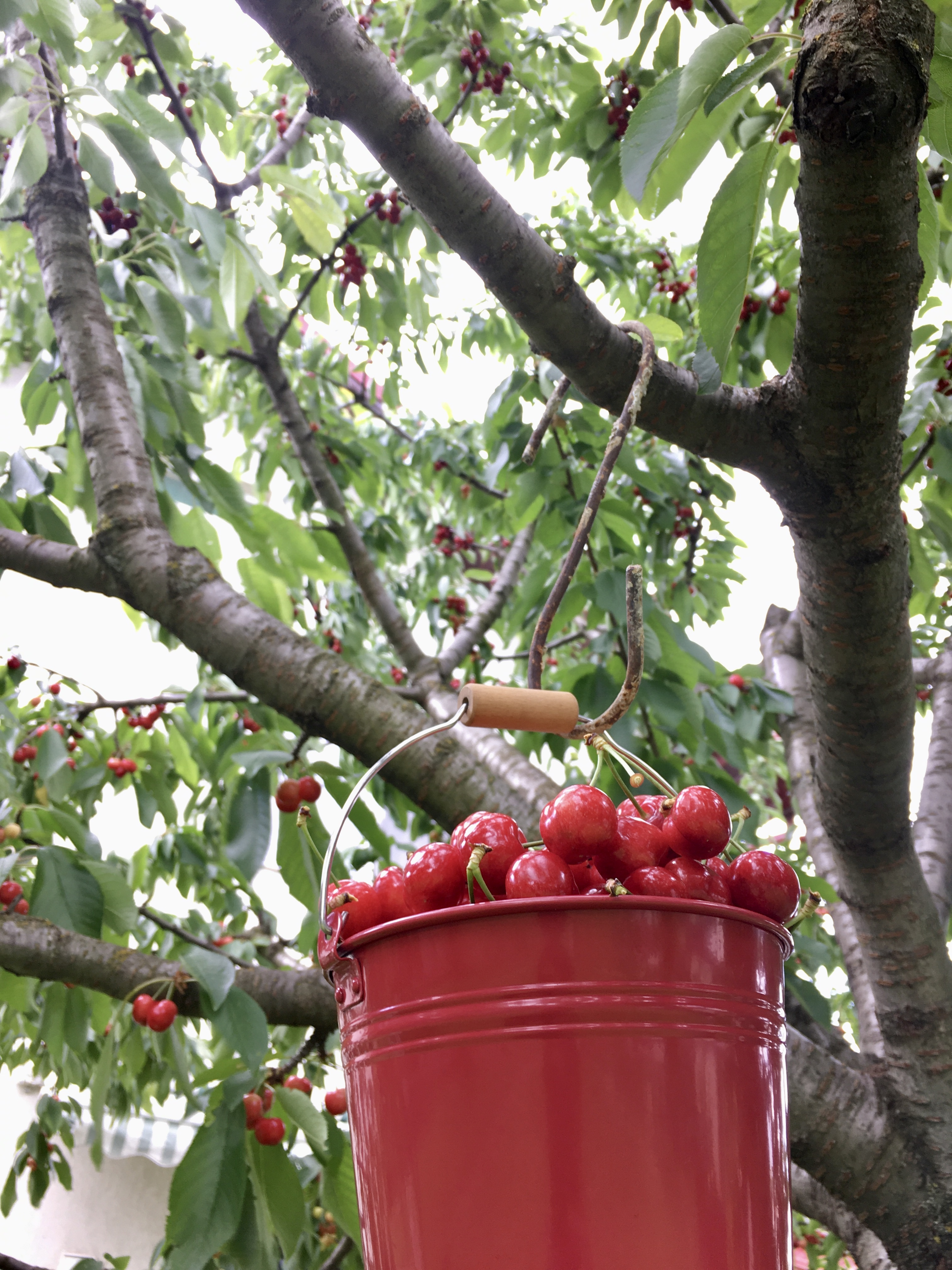 red bucket full of cherries hanging from a cherry tree