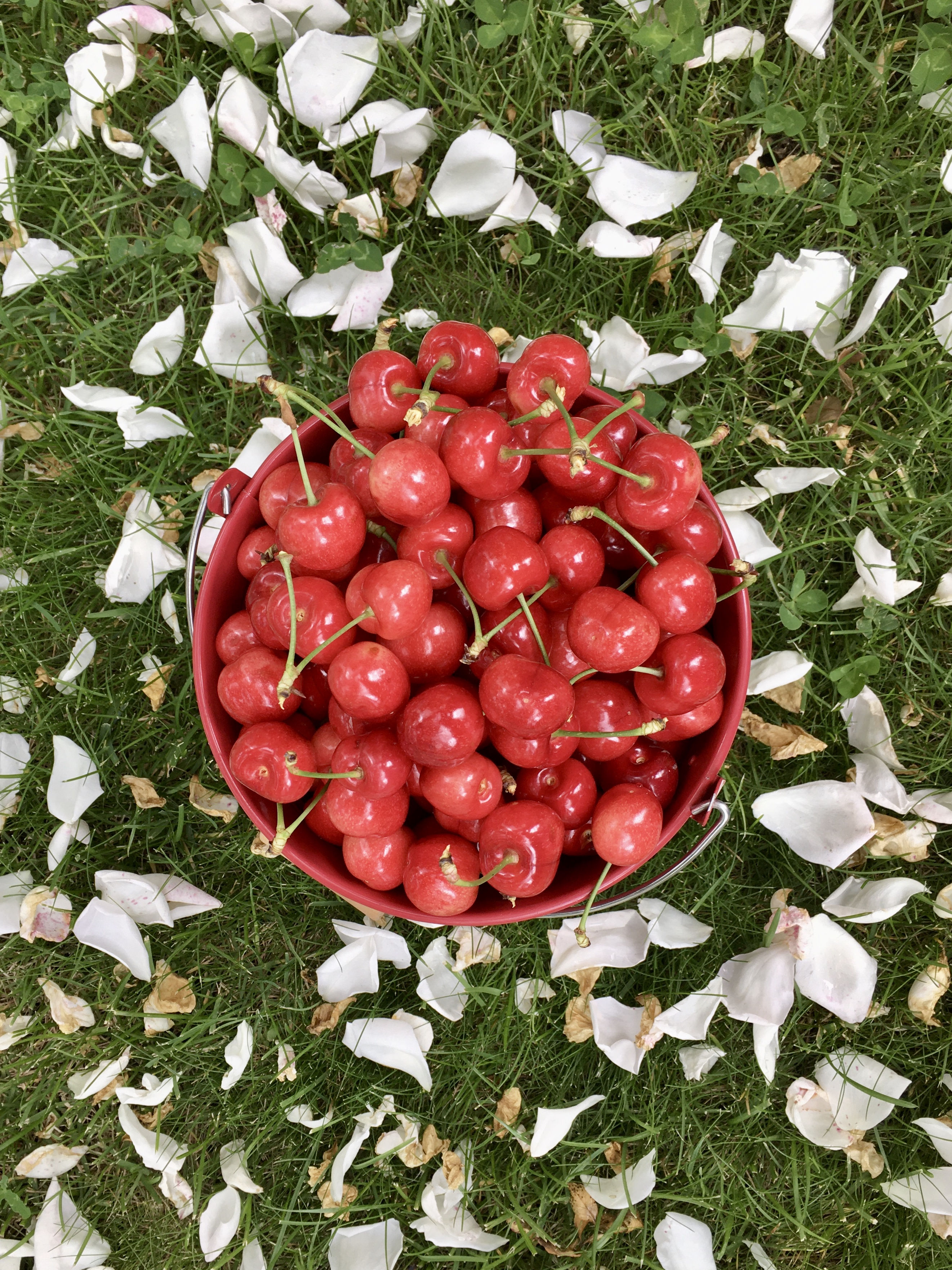 picked cherries in a bucket seen from above