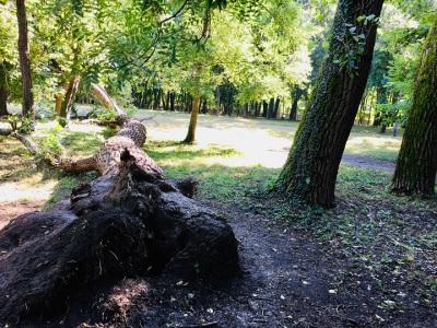 Fallen old tree in park