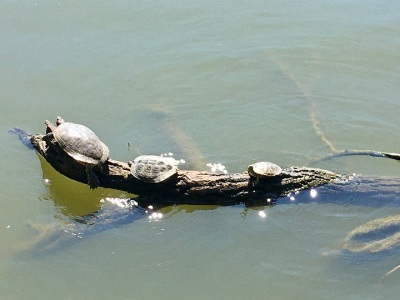 turtles on a log in the water