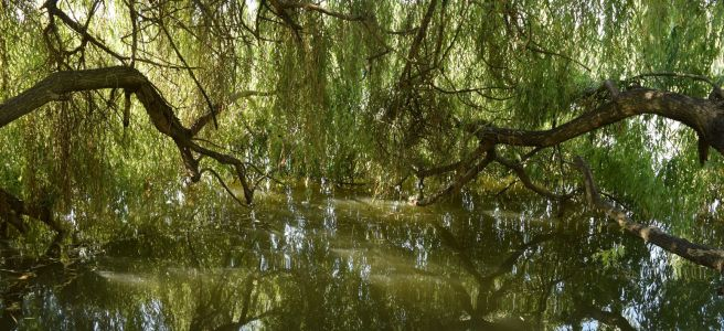 willow bower water reflections